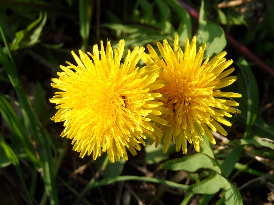 two yellow dandelions on green grass close-up