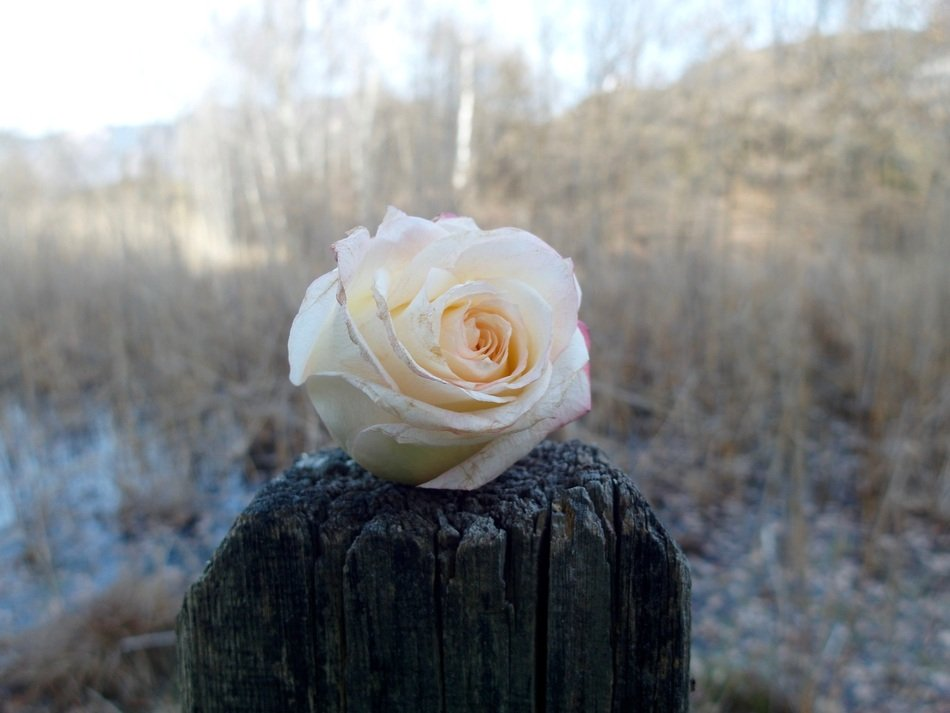 closeup view of White rose bloom on a wood