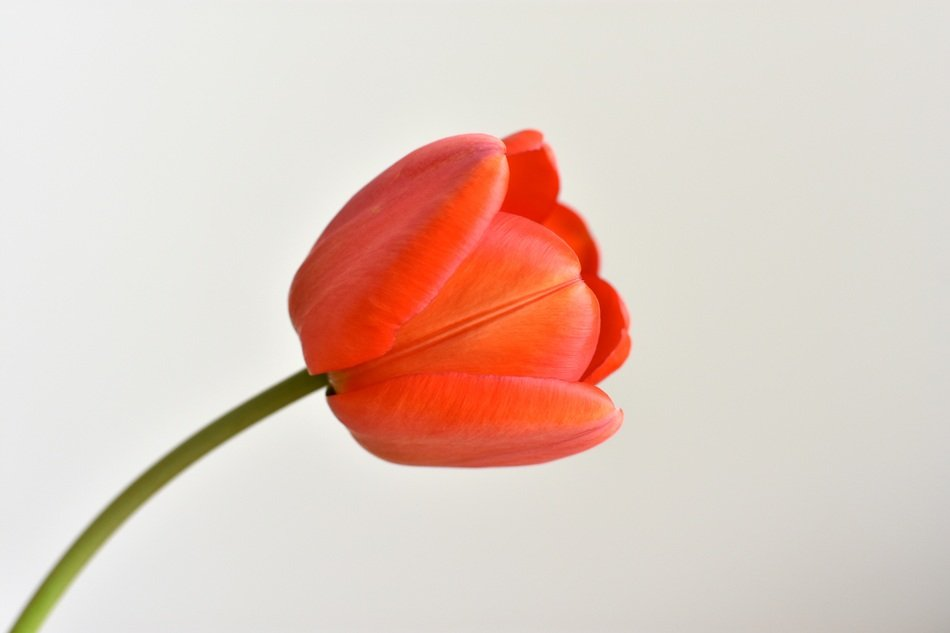 red tulip on a stalk in profile