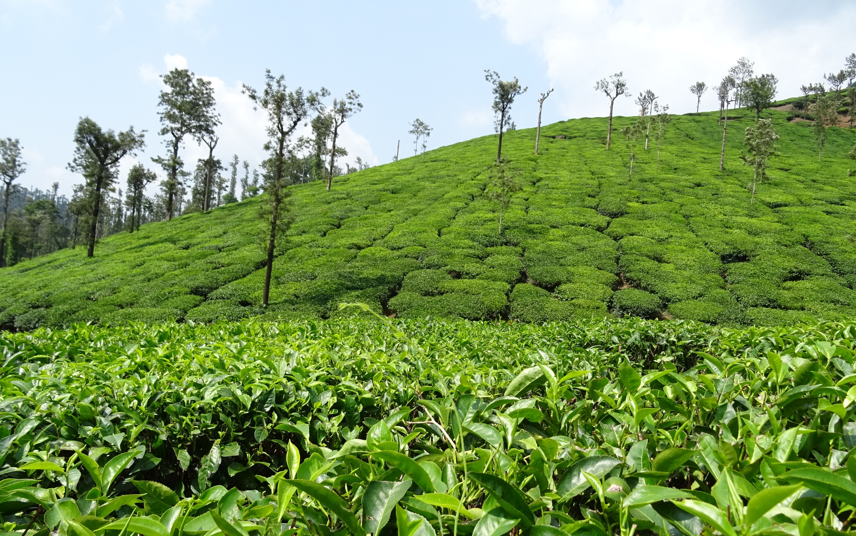 worlds primary tea producer - HD3000×1879