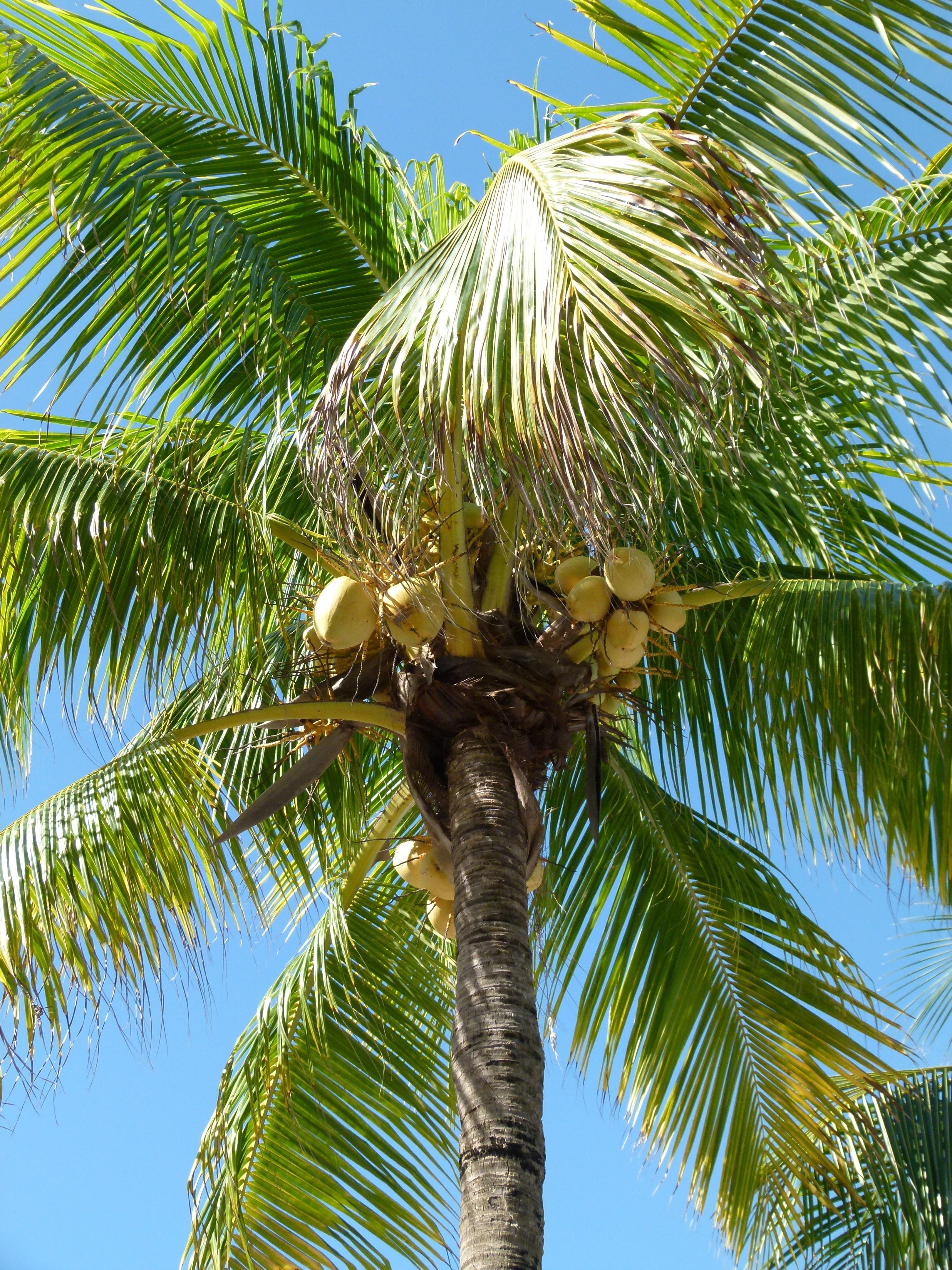 картинки где растут кокосы заявку, принимаю