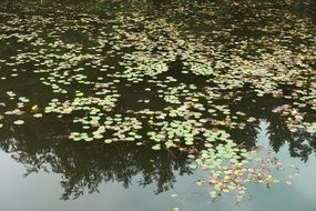 Lake Pond Water Lilies