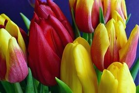 bouquet of colorful multi-colored tulips close-up