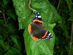 Admiral Butterfly on green leaf