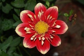 open Red Flower of Dahlia with Yellow center