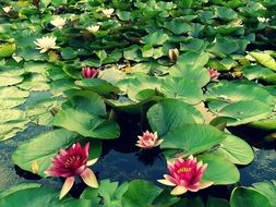 maroon lily on the pond