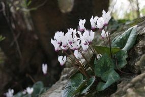 white Cyclamen Flowers Nature view