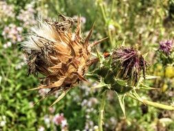 dry thistle flowers on a background of green grass