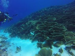 thickets of cabbage corals in the ulong channel