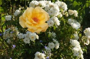 yellow rose on a bush of small white roses