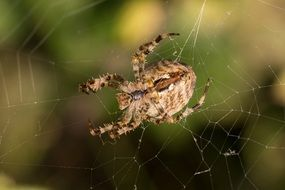 large spotted spider on a web close up