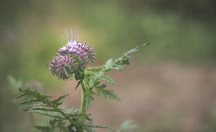 milk thistle or thistle