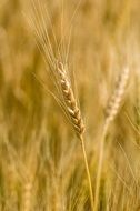golden ear of wheat