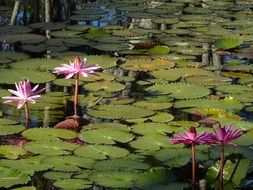 Exotic pink waterlilies blossom