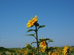 large sunflower on a blue sky background