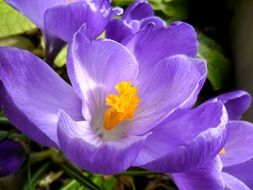 pale purple crocus with yellow core close-up