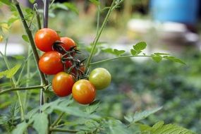 red and green seasonal tomatoes on a branch