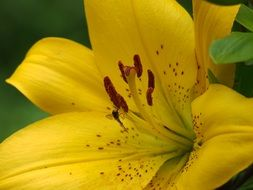 yellow lily with spotted petals