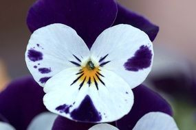 Close-up of pansy flowers