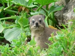 Hyrax among green plants in South Africa.