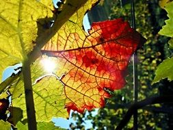 autumn leaves of a vine in bright sunlight