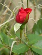 red flower nature rose