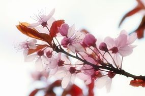 marvelous Garden Prunus