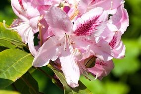 pink rhododendron inflorescence
