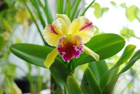 Orchid or Cattleya