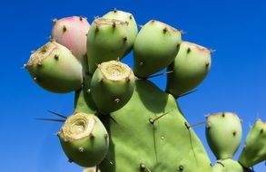 green Cactus Plant thorns
