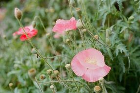 Pink poppy flowers blossom on the meadow