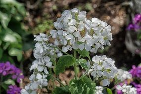 white Geraniums Flowers closeup
