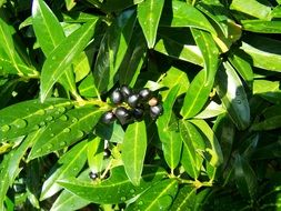 Cherry Laurel Berries