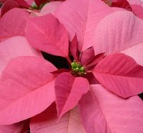 red poinsettia, Christmas Flower close up