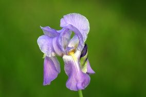 pale purple iris on a green background