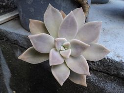 pastel fleshy plant on a stone surface