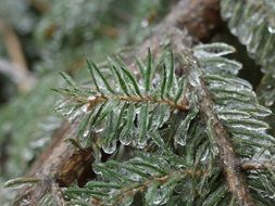 macro photo of Ice covered spruce branches