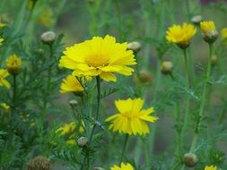 yellow marguerite summer flowers