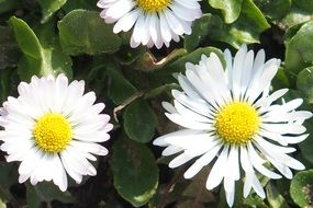 Beautiful daisy flowers blossom in spring