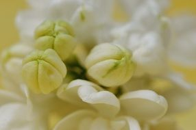 closeup of white lilac buds