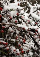 Snowy branches with red berries