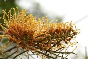 grevillea is an edible plant