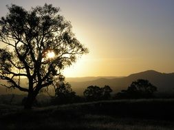 Eucalyptus on the sunset