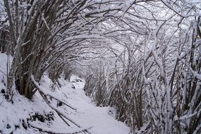 tunnel of trees in a winter landscape