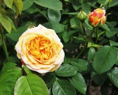 yellow Rose flower And Bud on Shrub