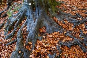 red fallen leaves on black roots of old tree