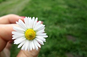 daisy flower in the hand