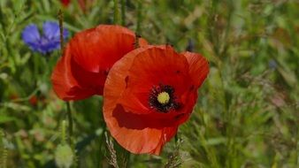 poppies on the wild meadow