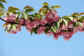 pink cherry blossom flowers sky aback