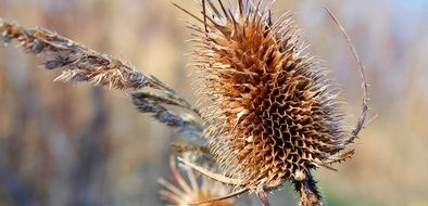 dry thistle plant close up